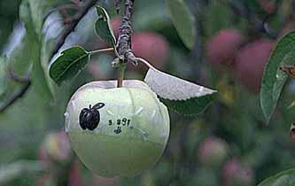 se applichiamo del nastr adesivo trasparente con un segno nerosu una mela acerba...